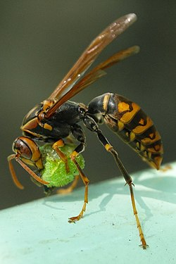 セグロアシナガバチ.jpg